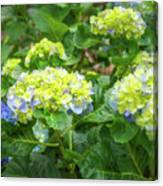 Purplea And Yellow Hydrangea Flowers Canvas Print