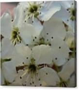 Purpleleaf Sand Cherry Blossoms Canvas Print