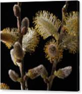Pussy Willow Canvas Print