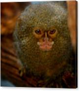 Pygmy Marmoset Canvas Print