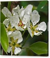 Pyrus Communis Conference Canvas Print
