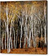 Quabbin Birches Canvas Print