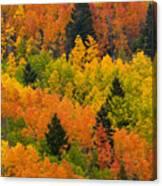 Quaking Aspen And Ponderosa Pine Trees Canvas Print