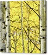 Quaking Aspen Fall Canvas Print