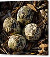 Quartet Of Killdeer Eggs By Jean Noren Canvas Print
