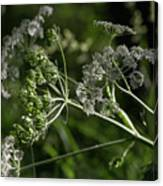 Queen Anne Lace In The Wind Canvas Print