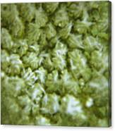 Queen Annes Lace Canvas Print