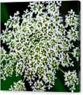 Queens Lace Flower Canvas Print