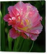 Queensland Tulip Canvas Print
