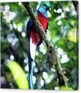 Quetzal In Monteverde Canvas Print