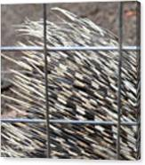 Quills Of An African Porcupine Canvas Print