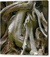 Quinault Valley Olympic Peninsula Wa - Exposed Root Structure Of A Giant Tree Canvas Print