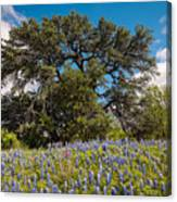 Quintessential Texas Hill Country County Road Bluebonnets And Oak - Llano Canvas Print