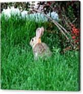 Rabbit Sitting Outdoors. Canvas Print