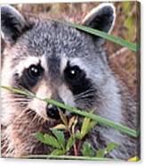 Raccoon 3 Canvas Print
