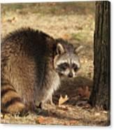 Raccoon #4 Canvas Print