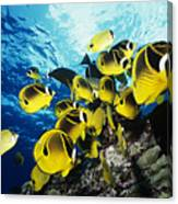 Raccoon Butterflyfish Canvas Print