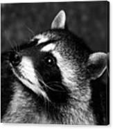 Raccoon Looking Canvas Print
