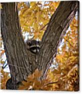 Raccoon Nape Canvas Print