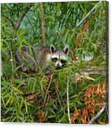 Raccoon Napping On Log Canvas Print