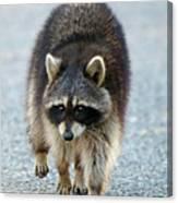 Raccoon On The Prowl Canvas Print