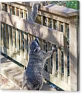 Raccoon Shenanigans Canvas Print