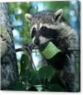 Raccoon--up We Go Canvas Print