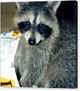 Raccoon1 Snack Bandit Canvas Print