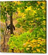 Racoon In Fall Trees Canvas Print