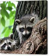 Racoons In Tree Canvas Print