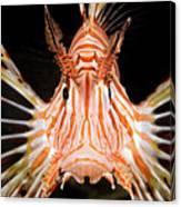 radial Lionfish Pterois radiata Canvas Print