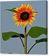 Radiant Sunflower Canvas Print