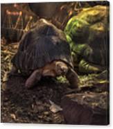 Radiated Tortoise Canvas Print