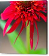 Radient Red Canvas Print