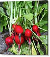 Radish Harvest Canvas Print