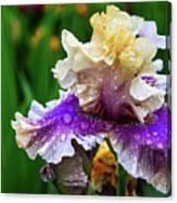 Rain Coated Multi Colored Iris Canvas Print