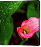 Rain Coated Pink Calla Lily Canvas Print
