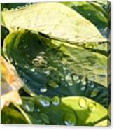 Rain Collecting On Hosta Leaves Canvas Print