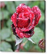Rain Drop Rose Canvas Print