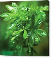 Rain Drops On Green Leaves Canvas Print