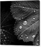 Rain Drops On Leaf Canvas Print