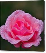 Rain Spattered Rose Canvas Print