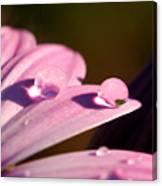 Rain Water On Daisy One Canvas Print