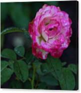 Rain Wet Rose Canvas Print