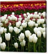 Rainbow Of Tulips Canvas Print