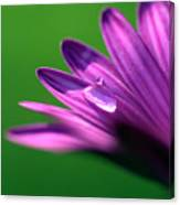 Raindrop On Purple Petal Canvas Print