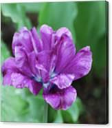 Raindrops Clinging To The Purple Petals Of A Tulip Canvas Print
