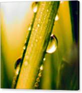Raindrops On A Blade Of Grass Canvas Print