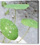 Raindrops On A Nasturtium Leaf Canvas Print