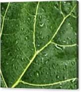 Raindrops On Fiddle Leaf Canvas Print